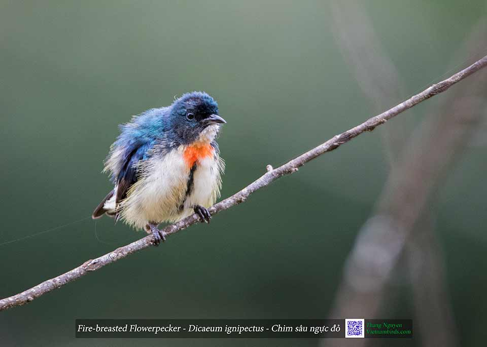 Fire-breasted Flowerpecker - Dicaeum ignipectus - Chim sâu ngực đỏ