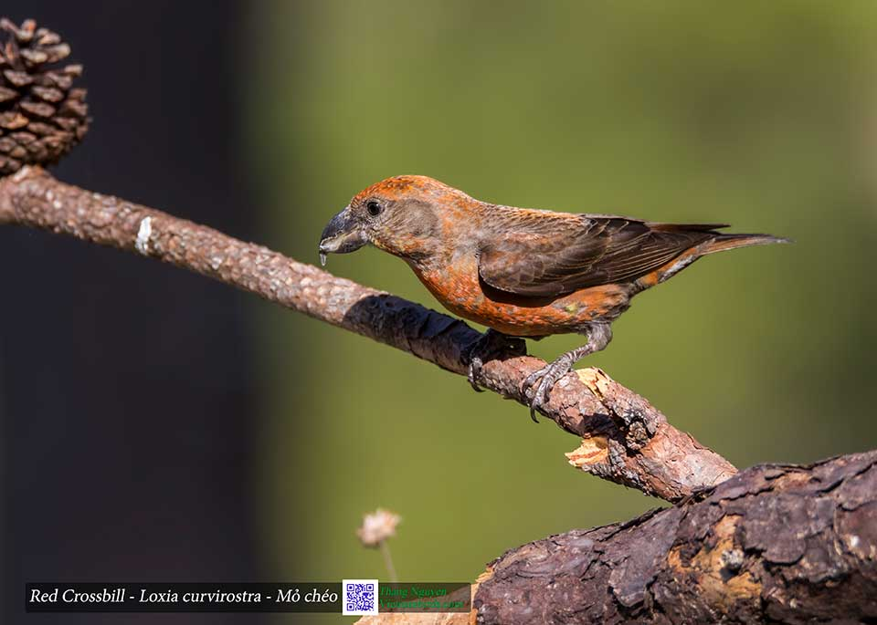 Red Crossbill - Loxia curvirostra - Mỏ chéo