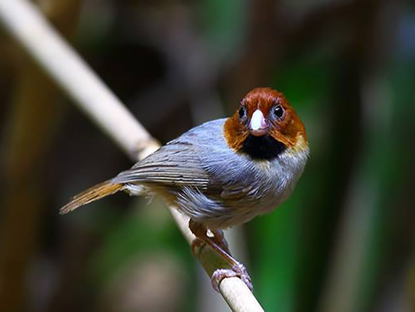 short-tailed-parrotbill