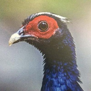 Efforts are underway to reintroduce Edwards's pheasant back into the wild