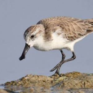 Spoon-billed Sandpiper in Vietnam