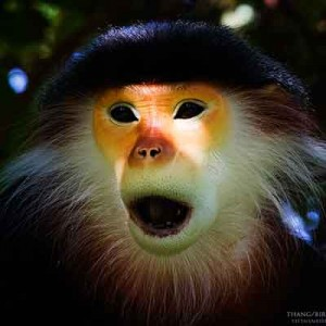 The most beautiful Monkey of Vietnam, Red Shanked Douc