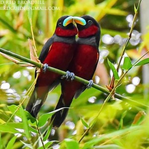 Black-and-Red Broadbill - Cat Tien National Park for bird photography tours