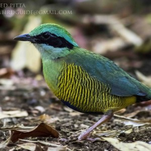 Bar-bellied Pitta - Cat Tien National Park for bird photography tours