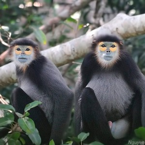 Black-shanked Douc langur - Special primate photography tour in south Vietnam, Takou NR. 3 days
