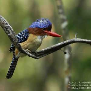 Banded Kingfisher - Cat Tien national park & Dalat bird photography tours| 8 days