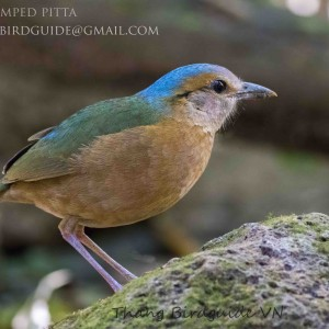 Blue-rumped Pitta - Cat Tien national park & Dalat bird photography tours| 8 days