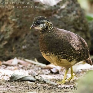 Green-legged Partridge - Cat Tien national park & Dalat bird photography tours| 8 days