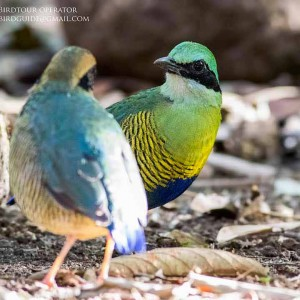 Bar-billed Pitta - Combination bird watching and cultural tours in Vietnam and Cambodia