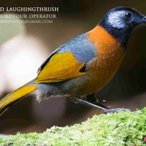 Collared Laughingthrush - Combination bird watching and cultural tours in Vietnam and Cambodia