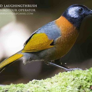 Collared Laughingthrush - Dalat bird Watching tours in 4 days