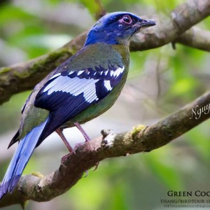 Green Cochoa - Dalat bird Watching tours in 4 days