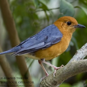 Orange-headed Thrush - Dalat bird Watching tours in 4 days