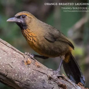 Orange-breasted Laughingthrush - Dalat bird Watching tours in 4 days