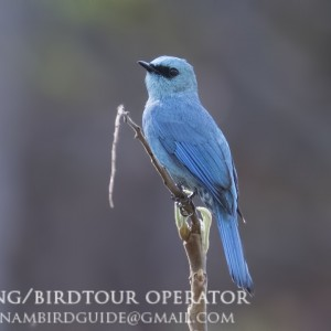 Verditer flycatcher - Dalat bird Watching tours in 4 days