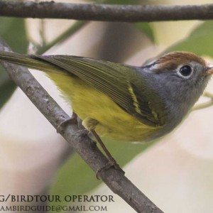 Chestnut-crowned warbler - Dalat bird Watching tours in 4 days