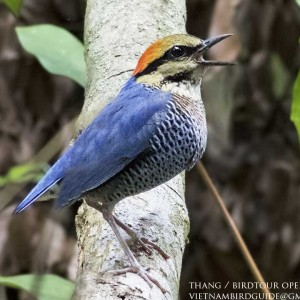 Blue Pitta - Dalat bird Watching tours in 4 days