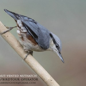 Chestnut-vented nuthatch - Dalat plateau Bird Photography Tours