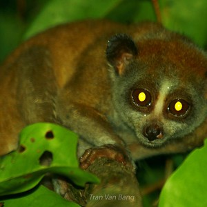 Pygmy-slow-loris - Special primate photography tour in south Vietnam, Takou NR. 3 days