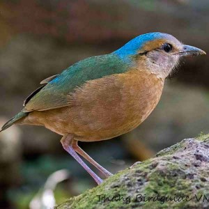 Blue-rumped Pitta - The best birding tours in Central and South Vietnam| 17 days
