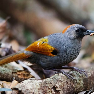 Golden-winged Laughingthrush - The best birding tours in Central highland and South Vietnam| 12 days