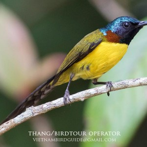 Green-tailed Sunbird - The best birding tours in Central highland and South Vietnam| 12 days