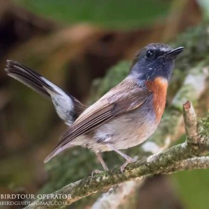 Rufous-gorgeted flycatcher - The best birding tours in Central highland and South Vietnam| 12 days