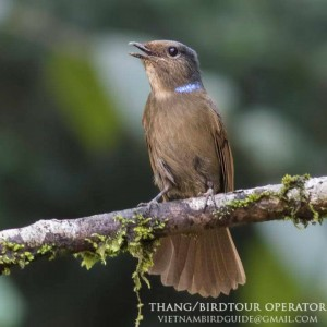 Large niltava - The best birding tours in Central highland and South Vietnam| 12 days