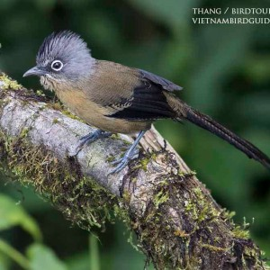 Black-crowned barwing - The best birding tours in Central highland and South Vietnam| 12 days