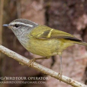 Ashy-throated Warbler - The best birding tours in Central highland and South Vietnam| 12 days