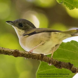 Green shrike-babbler - The best birding tours in Central highland and South Vietnam| 12 days