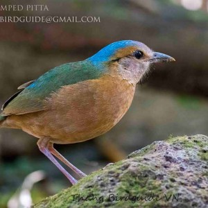 Blue-rumped Pitta - The best birding tours in North and South Vietnam| 14 days