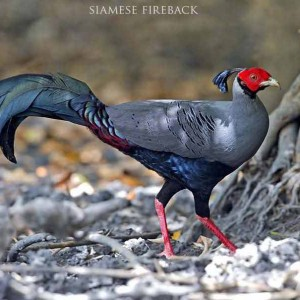 Siamese fireback - The best birding tours in North and South Vietnam| 14 days