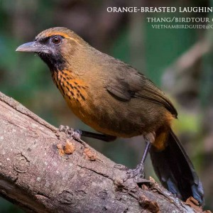 Orange-breasted Laughingthrush - The best comprehensive birding tours in North Central and South Vietnam