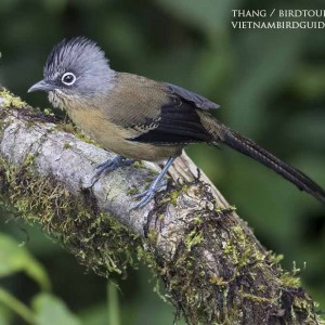 Black-crowned barwing - The best comprehensive birding tours in North Central and South Vietnam