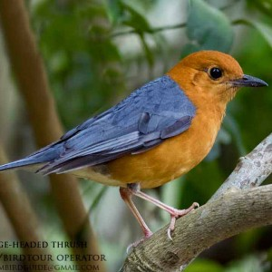 Orange-headed thrush - The best comprehensive birding tours in North Central and South Vietnam