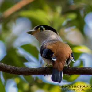 Silver-breasted broadbill - The best comprehensive birding tours in North Central and South Vietnam