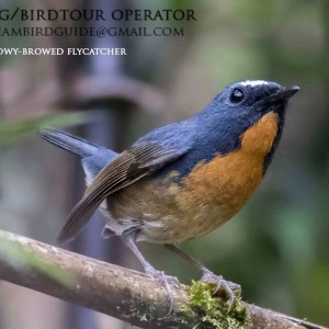 Snowy-browed flycatcher - The best comprehensive birding tours in North Central and South Vietnam