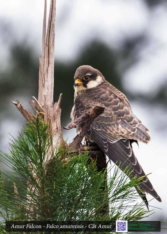 Amur Falcon - Falco amurensis - Cắt Amur