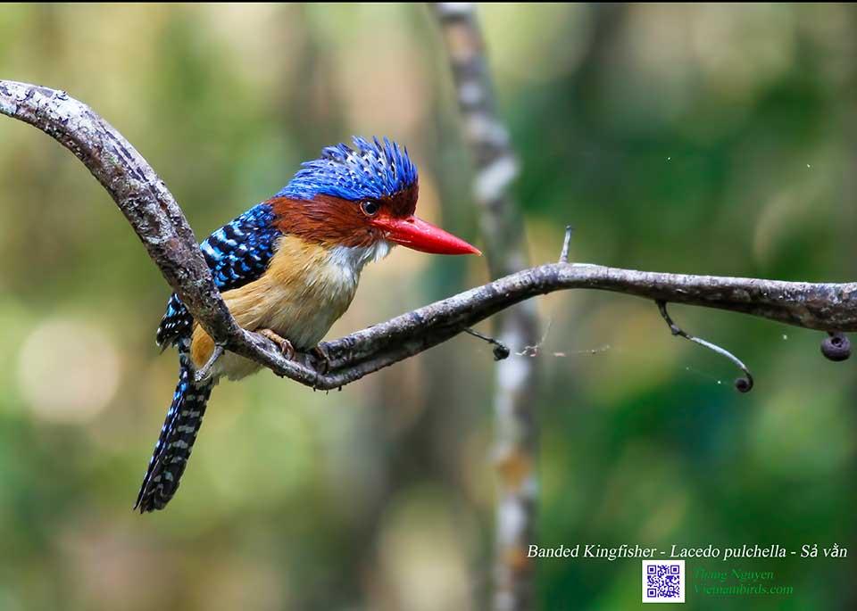Banded Kingfisher - Lacedo pulchella - Sả vằn
