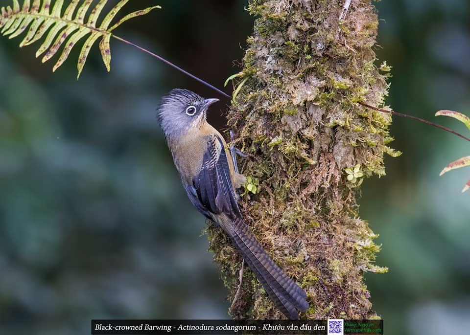 Black-crowned Barwing - Actinodura sodangorum - Khướu vằn đầu đen
