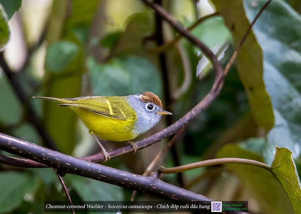 Chestnut-crowned Warbler - Seicercus castaniceps - Chích đớp ruồi đầu hung