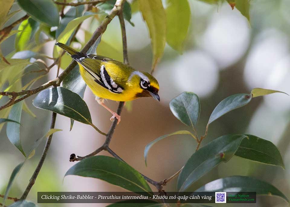 Clicking Shrike-Babbler - Pteruthius intermedius - Khướu mỏ quặp cánh vàng