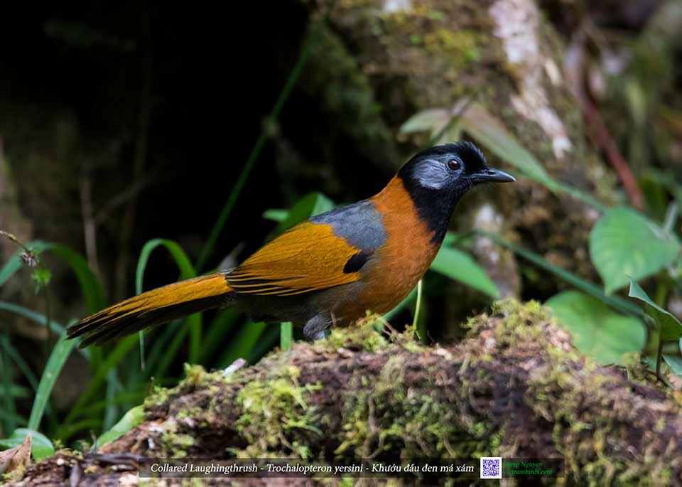 Collared Laughingthrush - Trochalopteron yersini - Khướu đầu đen má xám