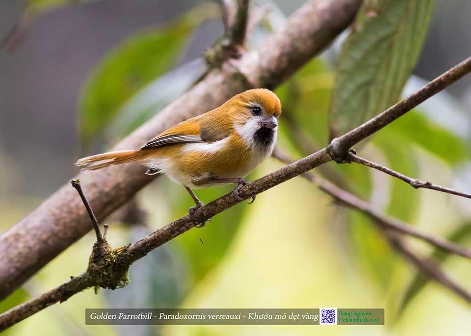 Golden Parrotbill - Paradoxornis verreauxi - Khướu mỏ dẹt vàng