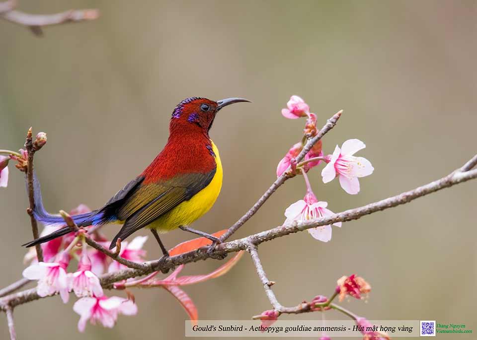 Gould's Sunbird - Aethopyga gouldiae annmensis - Hút mật họng vàng