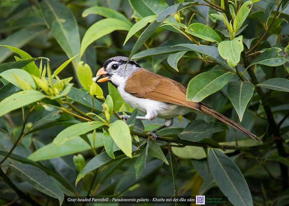 Gray-headed Parrotbill - Paradoxornis gularis - Khướu mỏ dẹt đầu xám