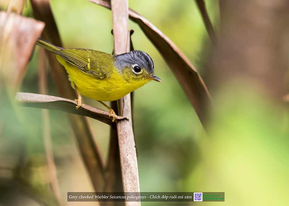 Grey-cheeked Warbler Seicercus poliogenys - Chích đớp ruồi má xám