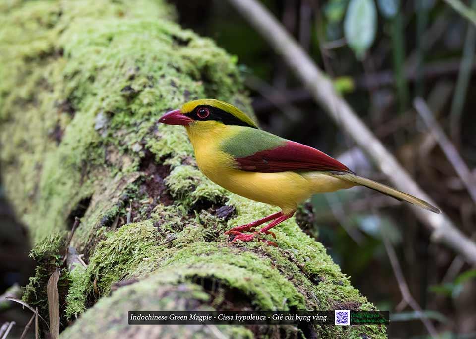 Indochinese Green Magpie - Cissa hypoleuca - Giẻ cùi bụng vàng