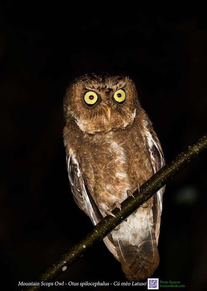 Mountain Scops Owl - Otus spilocephalus - Cú mèo Latusơ